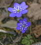 Hepatica nobilis - by Maksim
